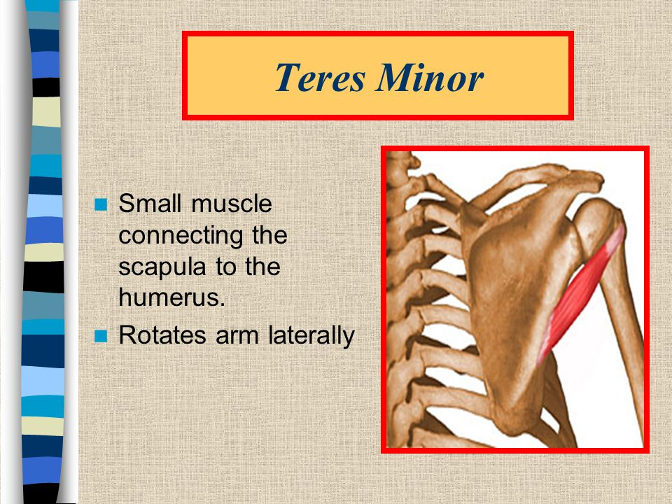 Teres Minor Small muscle connecting the scapula to the humerus.