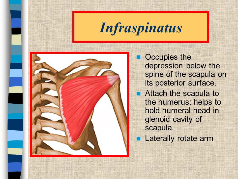 Infraspinatus Occupies the depression below the spine of the scapula on its posterior surface.