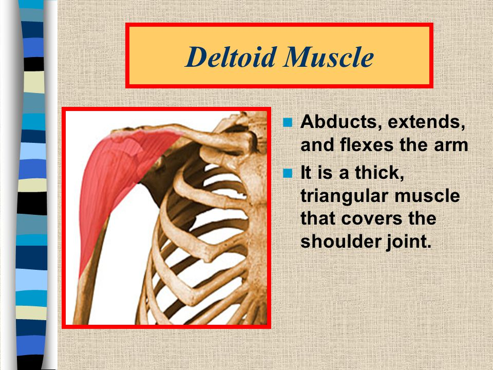 Deltoid Muscle Abducts, extends, and flexes the arm