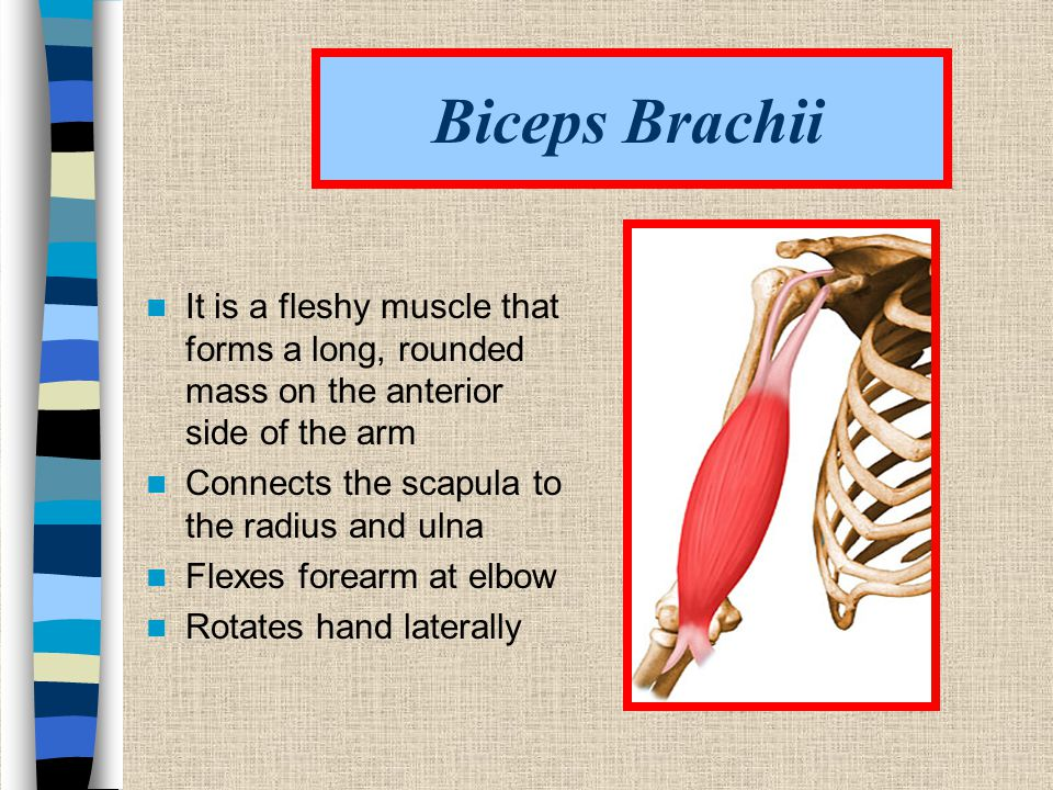 Biceps Brachii It is a fleshy muscle that forms a long, rounded mass on the anterior side of the arm.