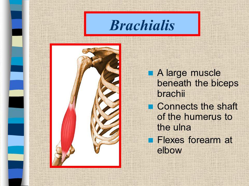 Brachialis A large muscle beneath the biceps brachii