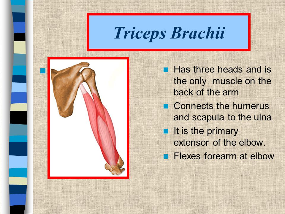 Triceps Brachii Has three heads and is the only muscle on the back of the arm.