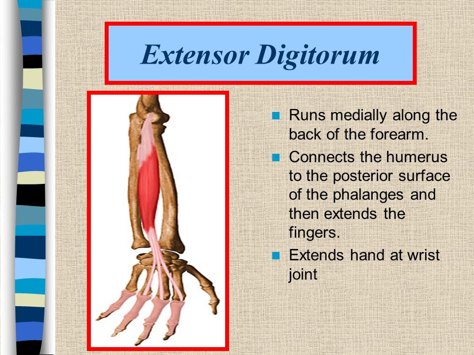 Extensor Digitorum Runs medially along the back of the forearm.