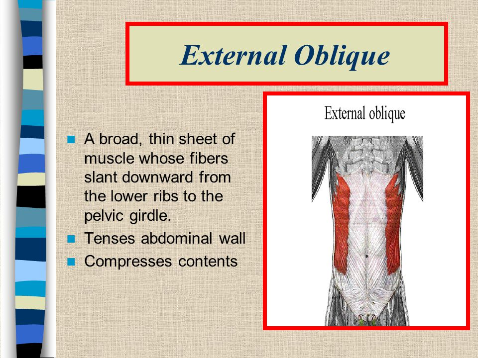 External Oblique A broad, thin sheet of muscle whose fibers slant downward from the lower ribs to the pelvic girdle.