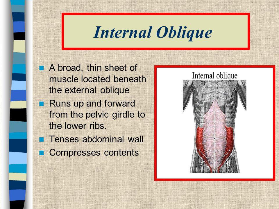 Internal Oblique A broad, thin sheet of muscle located beneath the external oblique. Runs up and forward from the pelvic girdle to the lower ribs.