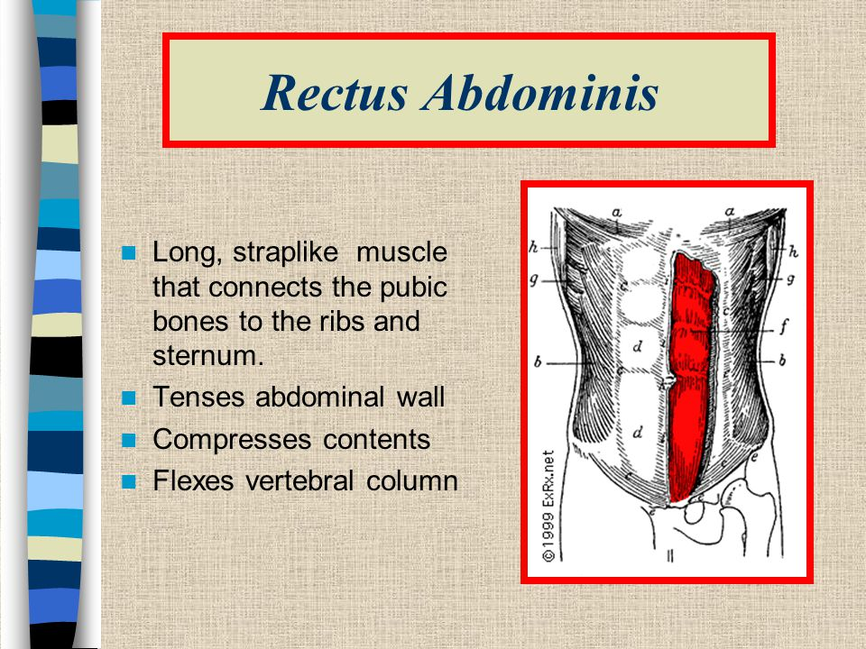 Rectus Abdominis Long, straplike muscle that connects the pubic bones to the ribs and sternum. Tenses abdominal wall.