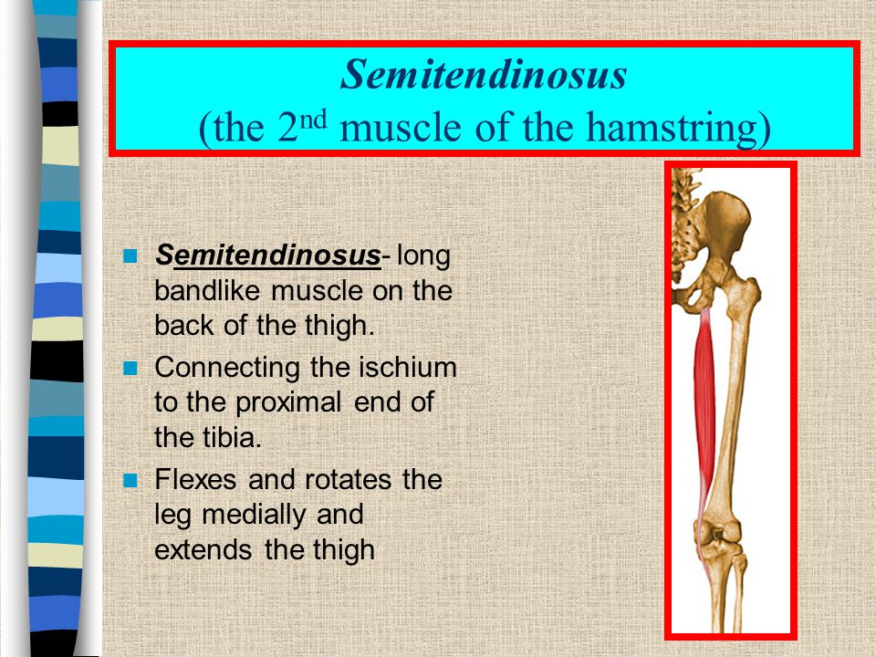 Semitendinosus (the 2nd muscle of the hamstring)