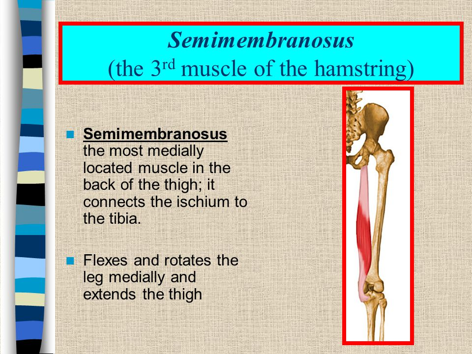 Semimembranosus (the 3rd muscle of the hamstring)