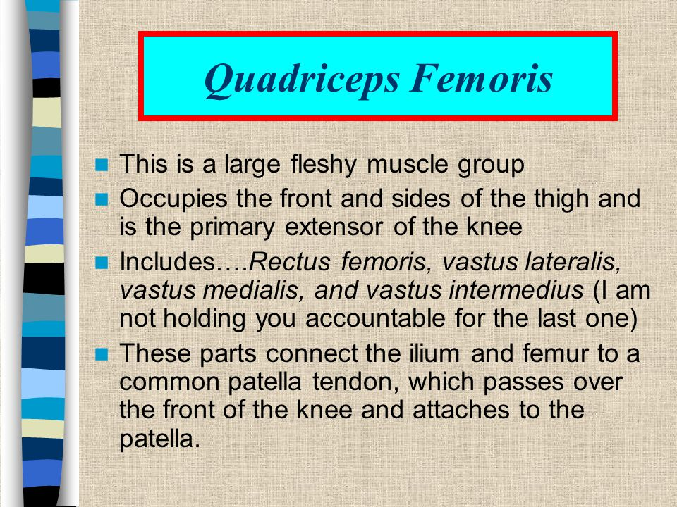 Quadriceps Femoris This is a large fleshy muscle group
