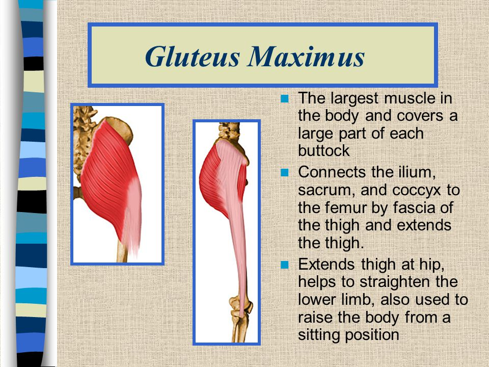 Gluteus Maximus The largest muscle in the body and covers a large part of each buttock.