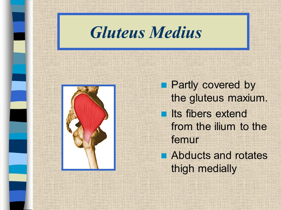 Gluteus Medius Partly covered by the gluteus maxium.