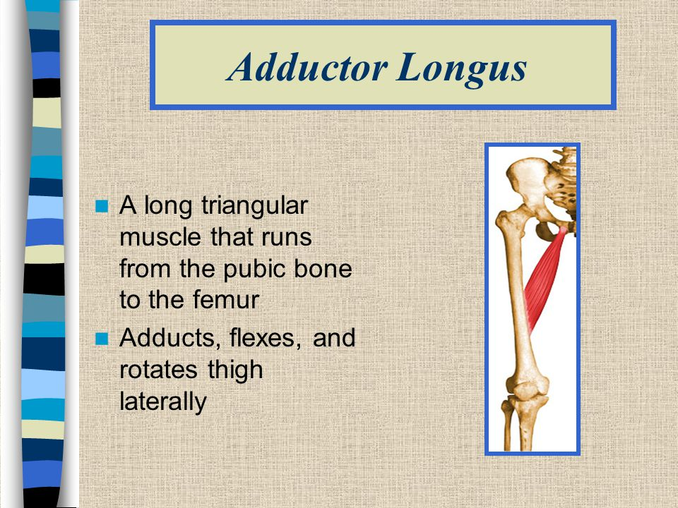 Adductor Longus A long triangular muscle that runs from the pubic bone to the femur.