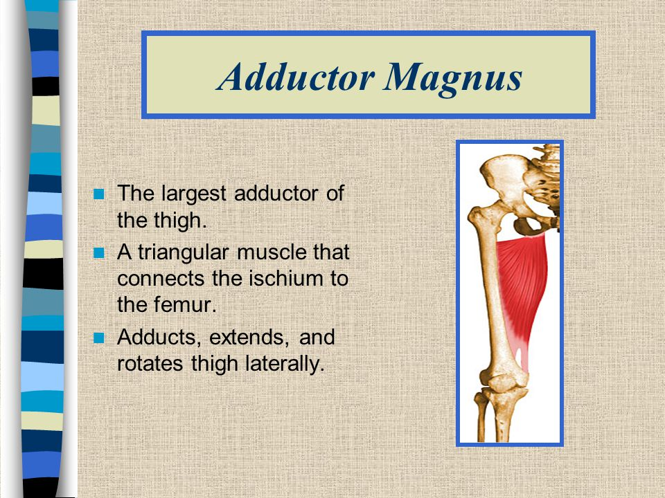 Adductor Magnus The largest adductor of the thigh.