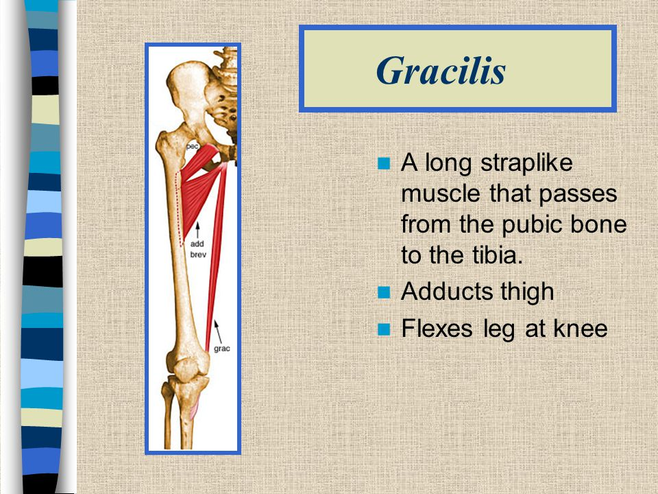 Gracilis A long straplike muscle that passes from the pubic bone to the tibia. Adducts thigh.