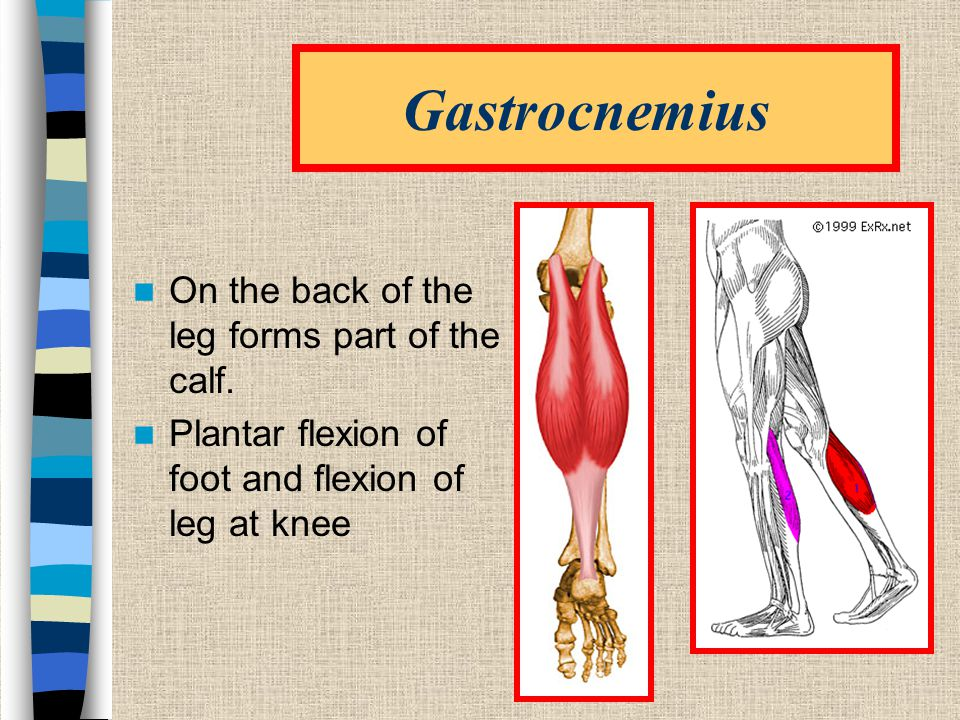 Gastrocnemius On the back of the leg forms part of the calf.