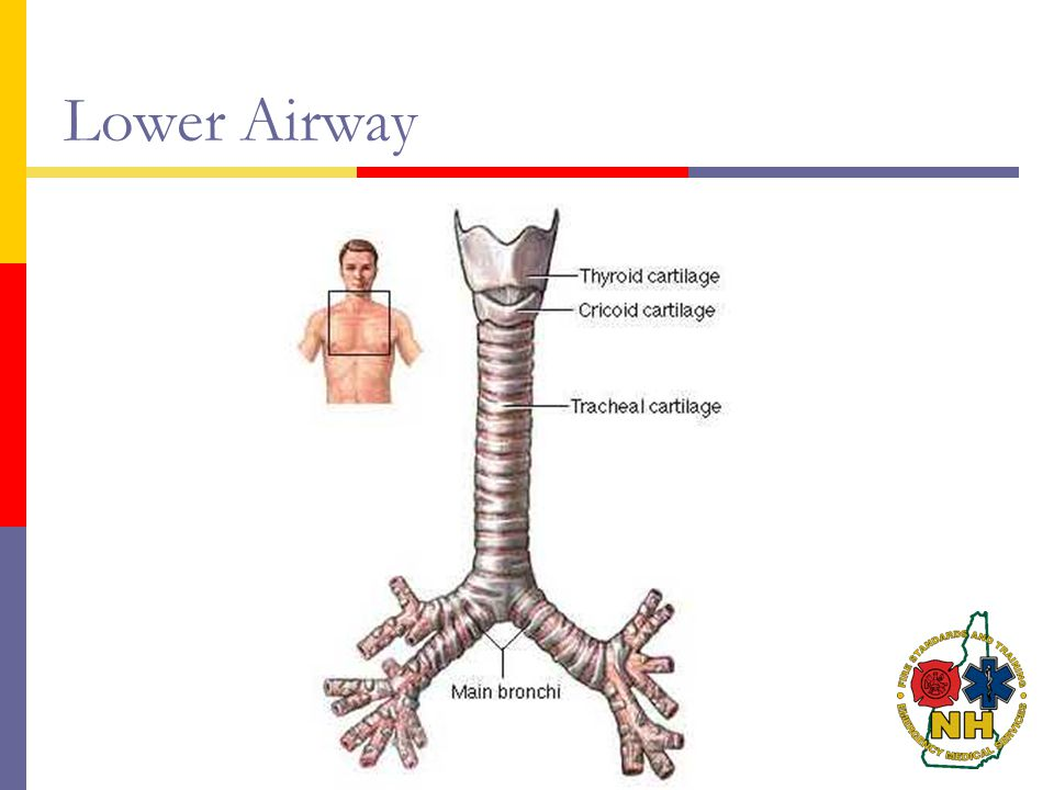 Lower Airway http://www.aboutcancer.com/trachea_adam.jpg