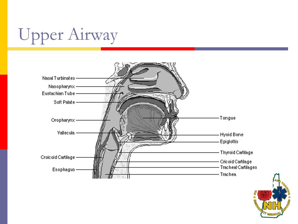 Upper Airway Upper Airway