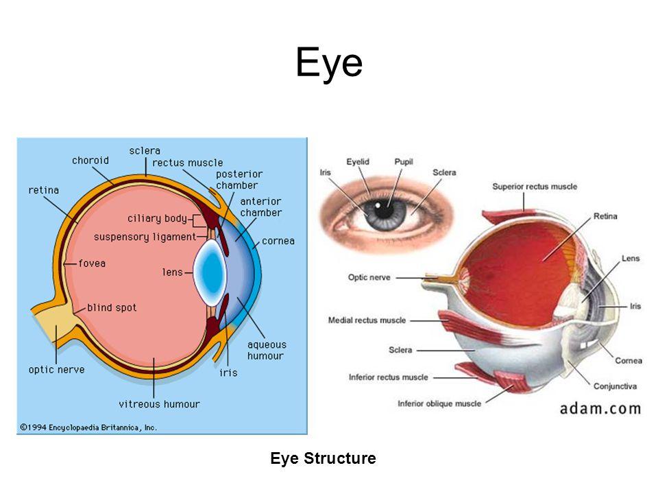Eye Eye Structure