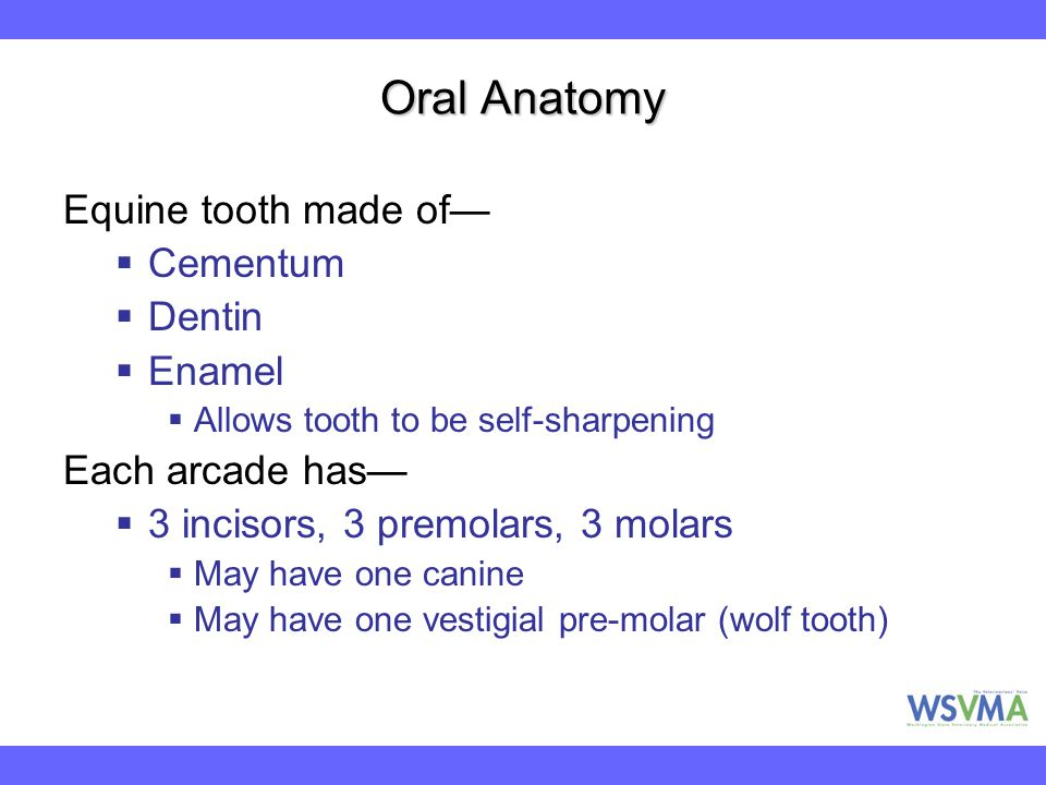 Oral Anatomy Equine tooth made of— Cementum Dentin Enamel