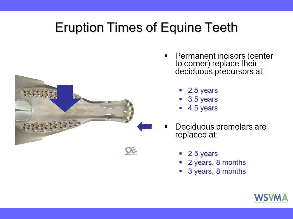 Eruption Times of Equine Teeth