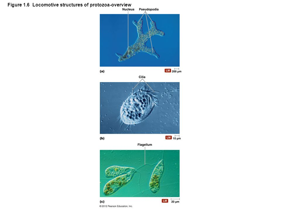 Figure 1.6 Locomotive structures of protozoa-overview