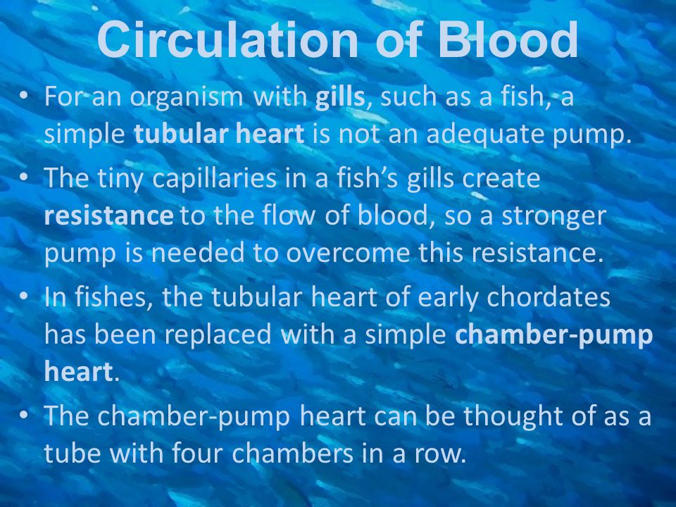 Circulation of Blood For an organism with gills, such as a fish, a simple tubular heart is not an adequate pump.