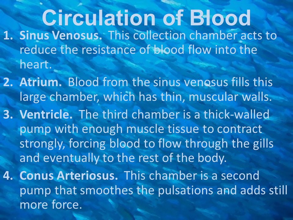 Circulation of Blood Sinus Venosus. This collection chamber acts to reduce the resistance of blood flow into the heart.