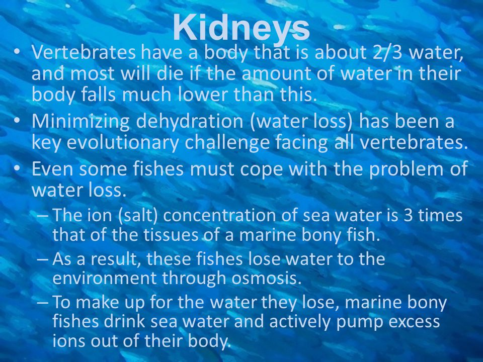 Kidneys Vertebrates have a body that is about 2/3 water, and most will die if the amount of water in their body falls much lower than this.