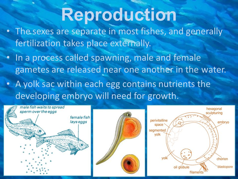 Reproduction The sexes are separate in most fishes, and generally fertilization takes place externally.