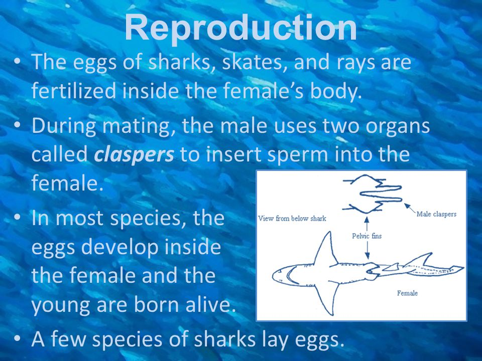 Reproduction The eggs of sharks, skates, and rays are fertilized inside the female's body.