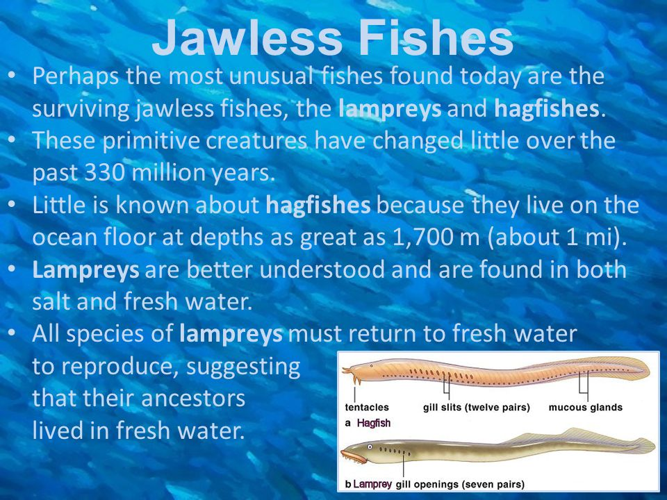 Jawless Fishes Perhaps the most unusual fishes found today are the surviving jawless fishes, the lampreys and hagfishes.