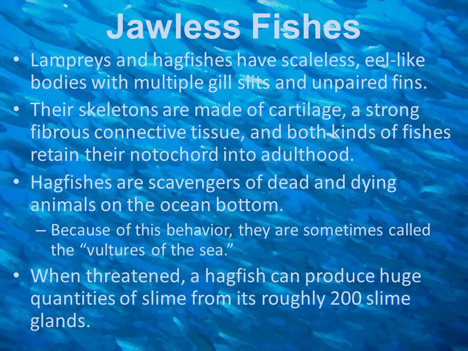 Jawless Fishes Lampreys and hagfishes have scaleless, eel-like bodies with multiple gill slits and unpaired fins.