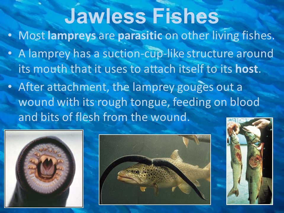 Jawless Fishes Most lampreys are parasitic on other living fishes.