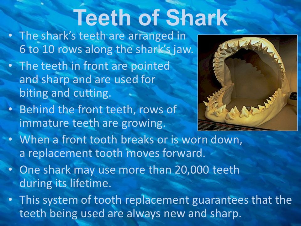 Teeth of Shark The shark's teeth are arranged in 6 to 10 rows along the shark's jaw.