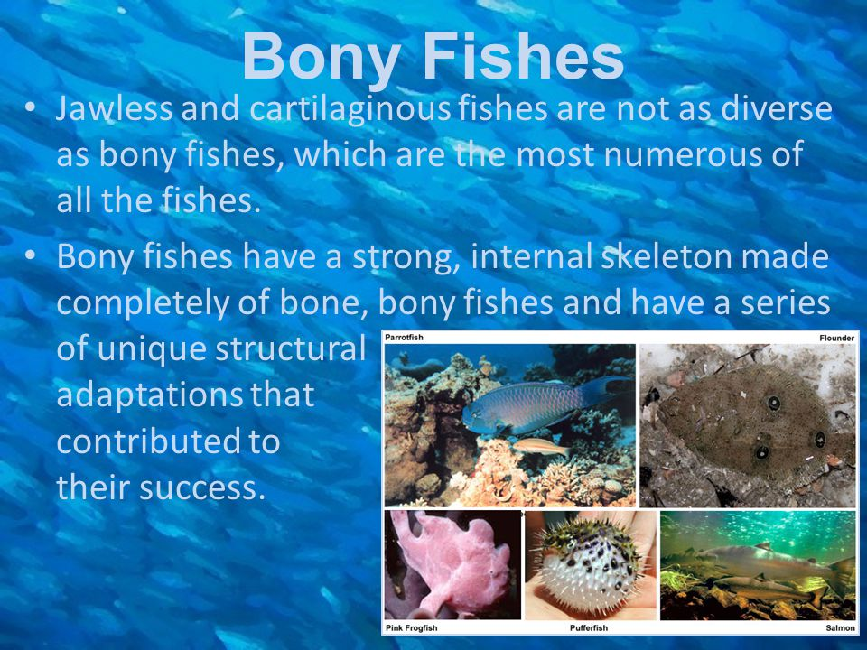Bony Fishes Jawless and cartilaginous fishes are not as diverse as bony fishes, which are the most numerous of all the fishes.