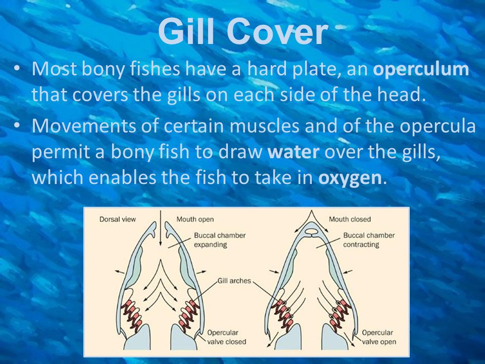 Gill Cover Most bony fishes have a hard plate, an operculum that covers the gills on each side of the head.