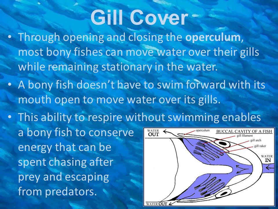 Gill Cover Through opening and closing the operculum, most bony fishes can move water over their gills while remaining stationary in the water.