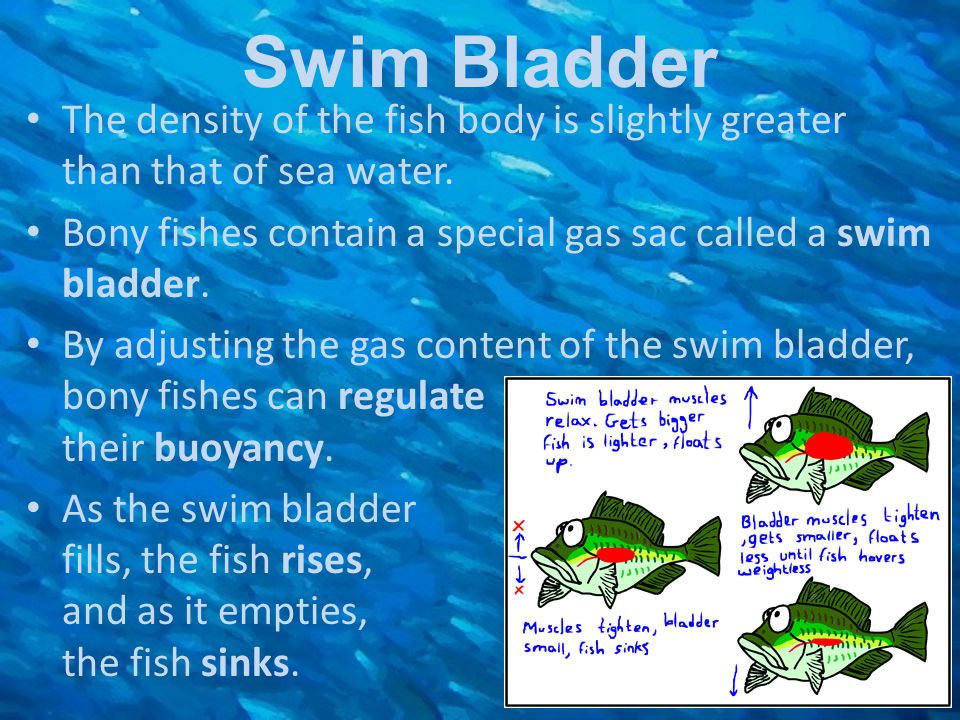Swim Bladder The density of the fish body is slightly greater than that of sea water. Bony fishes contain a special gas sac called a swim bladder.