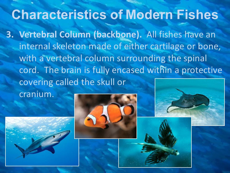 Characteristics of Modern Fishes