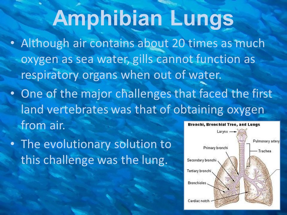 Amphibian Lungs Although air contains about 20 times as much oxygen as sea water, gills cannot function as respiratory organs when out of water.