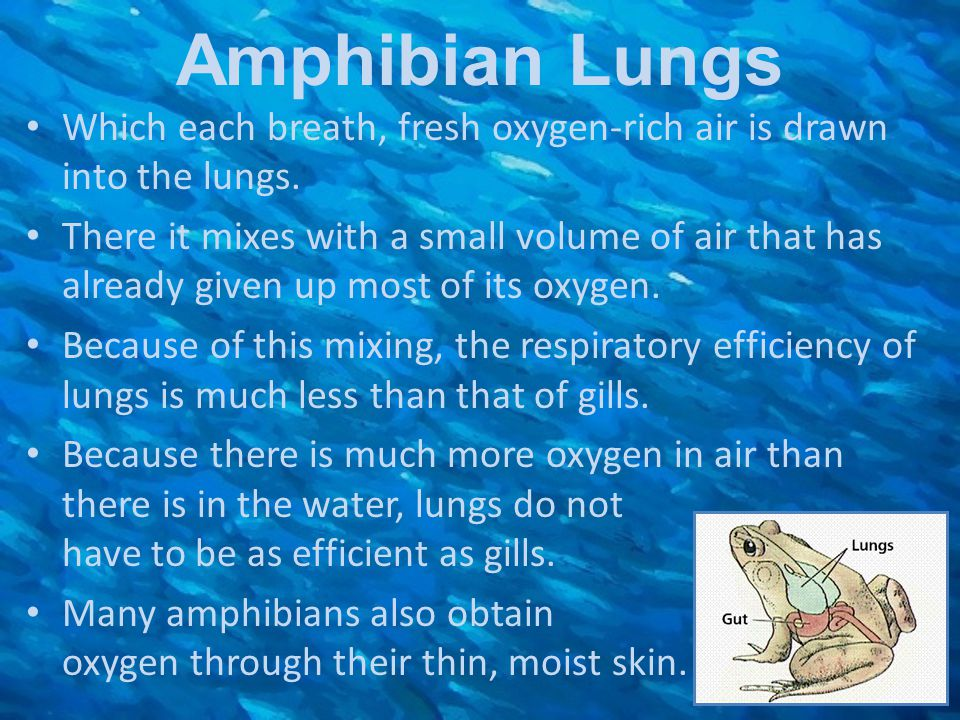Amphibian Lungs Which each breath, fresh oxygen-rich air is drawn into the lungs.