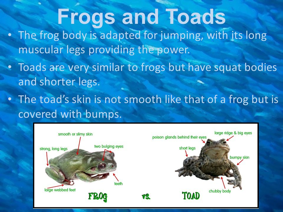 Frogs and Toads The frog body is adapted for jumping, with its long muscular legs providing the power.
