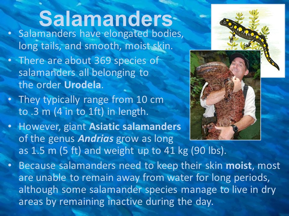 Salamanders Salamanders have elongated bodies, long tails, and smooth, moist skin.