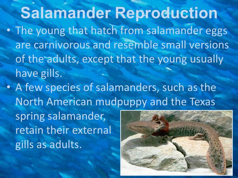 Salamander Reproduction