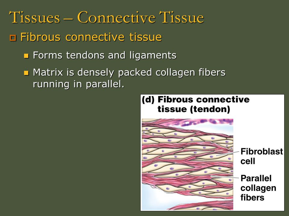 Tissues – Connective Tissue