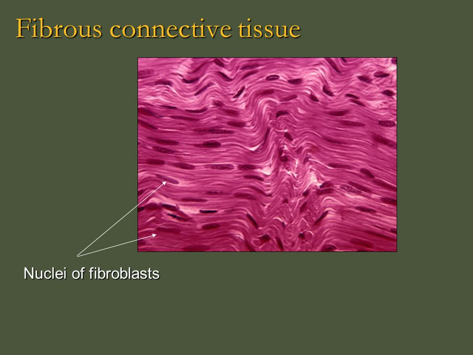 Fibrous connective tissue
