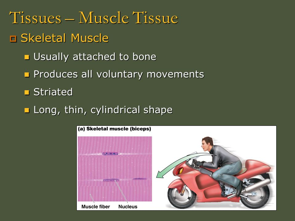 Tissues – Muscle Tissue