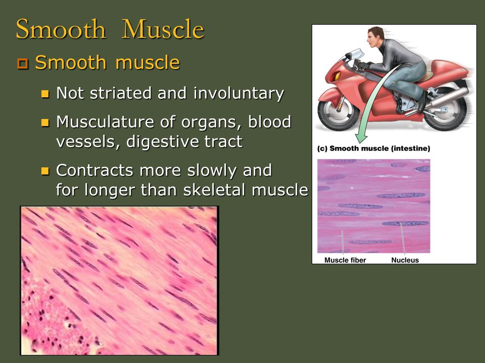 Smooth Muscle Smooth muscle Not striated and involuntary