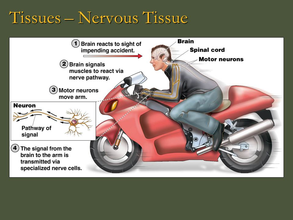 Tissues – Nervous Tissue