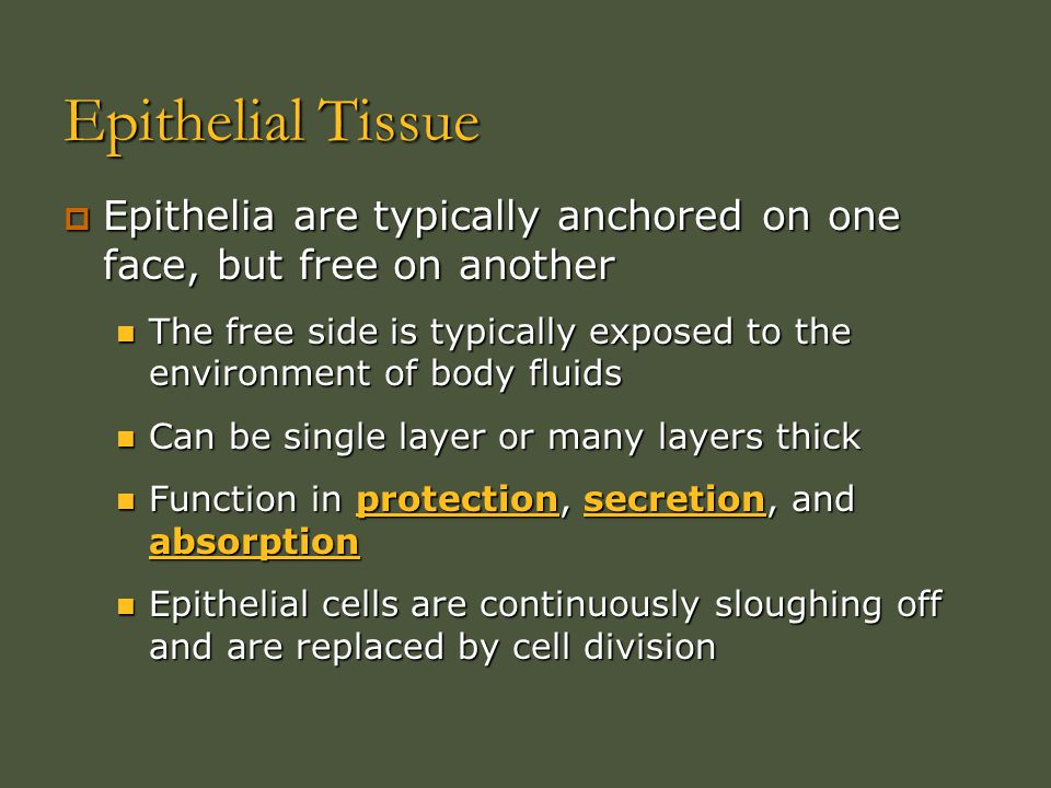 Epithelial Tissue Epithelia are typically anchored on one face, but free on another.